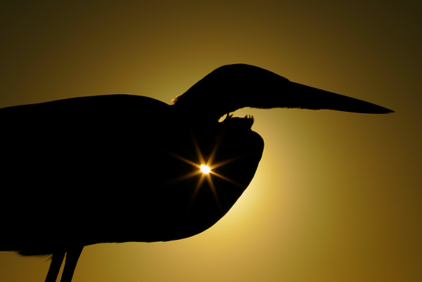 A Great Blue Heron silhouetted against the sun. ©Arthur Morris