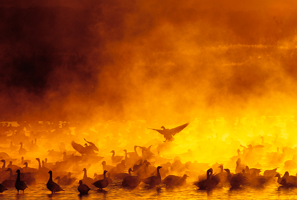 Geese at sunrise at Bosque, New Mexico. ©Arthur Morris/BIRDS AS ART