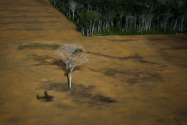 Soy fields near Belterra, Para State, Brazil, with isolated Brasilan nut trees (castanheira). ©Daniel Beltra