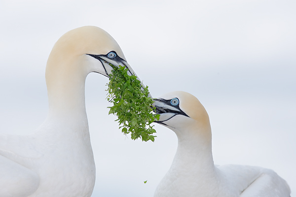 Northern Gannet male bringing nesting material to mate. ©Arthur Morris/BIRDS AS ART