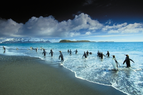 King Penguin, Bay of Isles, South Georgia Island, UK ©Art Wolfe
