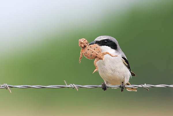 Loggerhead Shrike with Texas Horned Lizard Toad. ©Arthur Morris