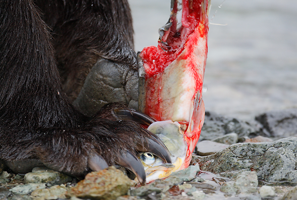 Brown bear eating salmon. ©Arthur Morris