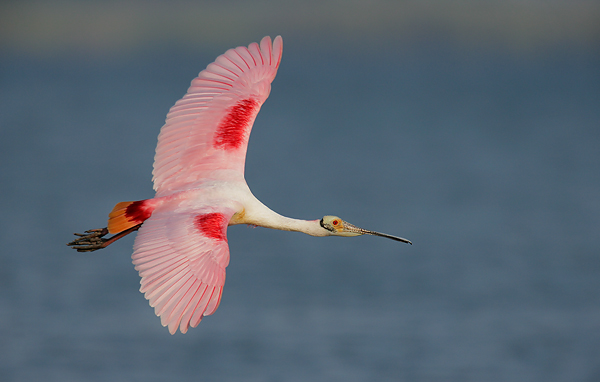 Roseate Spoonbill in Alafia Banks, Tampa Bay, Florida ©Arthur Morris/BIRDS AS ART