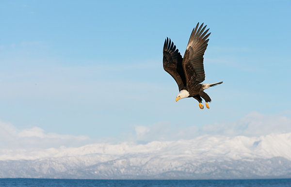 A bald eagle over the mountains in Homer, Alaska. ©Art Morris/BIRDS AS ART