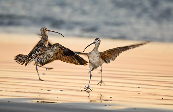 Long-billed Curlews squabbling in Morro Bay, California. ©Art Morris/BIRDS AS ART