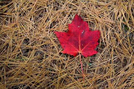 Maple Leaf, Acadia National Park, Maine. ©Ian Shive