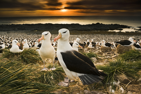 The sun sets over the southern Atlantic ocean as ten thousand nesting pairs of black browed albatross settle in for the brief summer night.