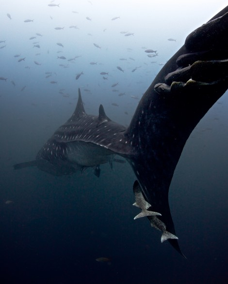 Whaleshark in the deep