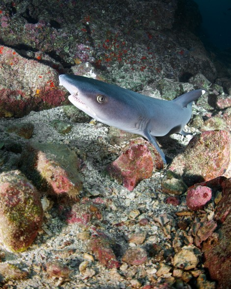 Whitetip on the lookout